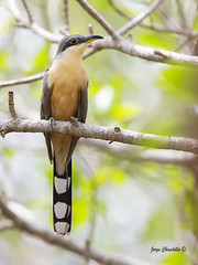 Mangrove Cuckoo (Jorge Chinchilla A.) Tags: costa birds rica chinchilla mangrove jorge cuckoo phothography