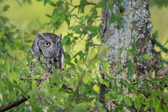Whooo Are You Looking At? (Linda Dyer Kennedy) Tags: bird nature catchycolors dallas eyes texas wildlife owl prey screech