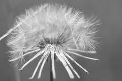 Make a Wish. (PAULALSOBROOKS) Tags: puff wish 50mm alsobrooks canon white black flower back yard blur brok