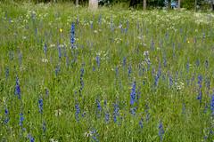Delphinium carolinianum (Eric Hunt.) Tags: blue flower purple delphinium ranunculaceae larkspur delphiniumcarolinianum prairielarkspur