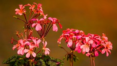 Flowers (Yasmine Hens) Tags: pink flowers red rose fleurs rouge europa flickr belgium ngc namur hens yasmine wallonie iamflickr flickrunitedaward hensyasmine