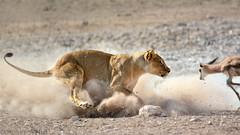 the chase ~a (PicturesWild) Tags: wildlife lion namibia lioness etosha springbok thechase panteraleo etoshanationalpark leeu nebrownii pictureswild