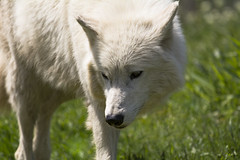 Arctic Wolf 42 (cypher40k Photography) Tags: toronto color colour zoo nikon wolf arctic torontozoo arcticwolf