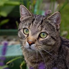 Sethi in the green (FocusPocus Photography) Tags: pet animal cat garden chat gato katze garten haustier kater tier sethi