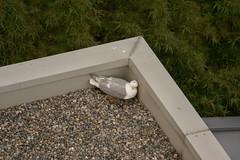 Glaucous-winged Gull (Larus glaucescens) (ekroc101) Tags: birds vancouver bc coalharbour glaucouswingedgull larusglaucescens eleanoredgar
