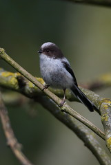 Long tailed Tit (cooky1959) Tags: tits worcestershire uptonwarren