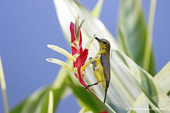 Sunbirdie birdie (JX76) Tags: bird nature sunbird flower outdoor femalesunbird botanicgardens singapore canoneos700d