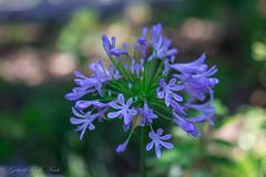 Beauty no Beast (Gabriel FW Koch) Tags: blue summer sun sunlight green nature canon ball garden outside eos dof purple blossom outdoor details orb 100mm lilac round blooms