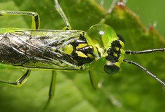 Sawfly - Rhogogaster viridis (riggy-riggo) Tags: macro nature woodland fly kent spring wildlife canonmpe65mm sawfly diffusedflash rhogogasterviridis canon5dmarkll deborahrigden riggyriggo debbierigden