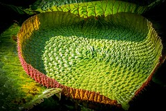 a love of nature (tattie62) Tags: colour green texture nature leaf pattern mauritius shape lilypad