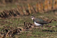 "Northern Lapwing ""Cornfield Hunter"" (girlslens) Tags: lapwing northernlapwing shorebird"