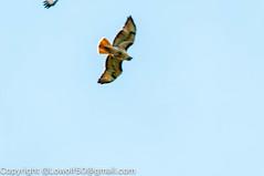 RedTailHawk battle 16_DSC5613.jpg (orig_lowolf) Tags: usa home oregon nikon flickr flight crow attacking redtailedhawk lakeoswego d300s sigma150500mmf563afapodgoshsmtelephotozoom