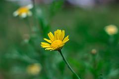 Yellow Daisy - Bellis perennis - (Nikan Likan) Tags: 6 white paris flower color green field yellow vintage lens japanese 50mm prime bokeh f14 m42 daisy manual fujinon depth blades ebc bellis   2016 perennis 14
