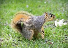 Squirrel III (Photato Jonez) Tags: red alex animals fauna river campus rodent nikon squirrel squirrels day state michigan gray lansing east cedar common eastern mammals d3300