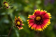 Gaillardia (Yorkey&Rin) Tags: flower macro japan ngc may olympus neighborhood gaillardia kanagawa rin kawasaki  2016 em5  leicadgmacroelmarit45f28 t5290711