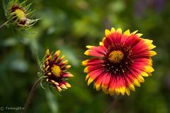 Gaillardia (Yorkey&Rin) Tags: flower macro japan ngc may olympus neighborhood gaillardia kanagawa rin kawasaki  2016 em5  leicadgmacroelmarit45f28 t5290711