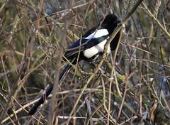Urraca comn / Eurasian Magpie (Pica pica) (avgomo) Tags: espaa fauna spain aves magpie salamanca urraca