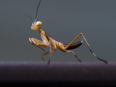 """Depicted: baby Praying Mantis, aprox. 7mm or 0.276"""" in size (Ivan Radic) Tags: olympusomdem10 olympus45mmf18 marumidhg2005 raynoxdcr250 fotgaautomaticmacroextensiontubes olympus omd em10 45mm f18 marumi dhg200 5 fotga automatic macro extension tubes raynox dcr250"""