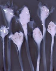 Torch ginger lumen print (julesnene) Tags: pink flower art flora kodak philippines sunkissed perennial photogram crosssection losbanos sunprint wildginger lumen alternativephotography torchlily torchginger gingerflower rosedeporcelaine etlingeraelatior mtmakiling bocadedragn philippinewaxflower redgingerlily bungakantan madeinthephilippines philippineflowers lumenprint julesnene lumenart kodakpolycontrastiiirc juliasumangil combrang xiangbaojiaing indonesiantallginger paintedbythesun flowersofmountmakiling