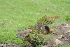 DSC_4750 (d90-fan) Tags: animals outdoors austria tiere sterreich natur pferde schnecke rauris fohlen hohetauern tauern krumltal murmeltiere raurisertal