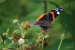 IMG_0278_kw - Atalanta - Vanessa atalanta (Monique van Gompel) Tags: butterfly aurelia atalanta vlinder vanessaatalanta dagvlinder