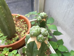 Lophophora williamsii var caespitosa (djnionas) Tags: lophophora williamsii