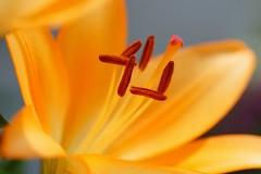/Lilium cv. (nobuflickr) Tags: lily   liliumcv awesomeblossoms  20160611dsc02714