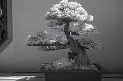 DSC_3869s (An Xiao) Tags: arboretum bonsai penjing