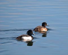 Male and Female Tufted Ducks (agglestone2) Tags: male female lakes ducks tufted hwt blashford
