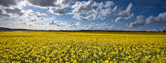 Fields of Yellow (V a s s) Tags: uk blue england sky nature field yellow clouds spring farmers harvest hampshire april a3 rapeseed vass