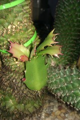 #02-cactus graft update (may 2012) (Columbiantony Photography) Tags: christmas flowers cactus flower cacti easter gm desert flowering shows buds latest growing bud grafting graft grafts payote