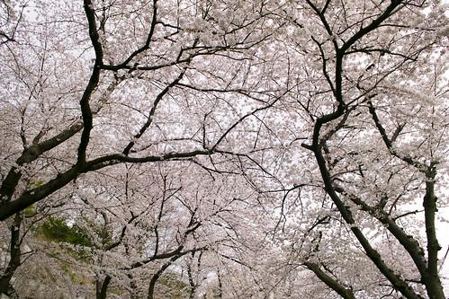 桜のドーム