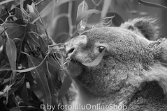 Koala_Phascolarctus cinereus-82 (fotolulu2012) Tags: blackandwhite black animals schwarzweiss weiss schwarz tierfotos blackendwithe schwarzweissbilder avibase
