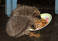 Supper For Two (Judy's Wildlife Garden) Tags: rain mealworms hedgehogs supperfortwo judykennett knightonpowys