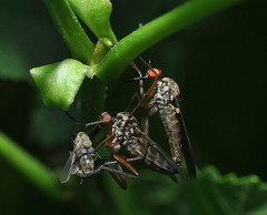 Hungry darling? (oxipang) Tags: fly flies mating hungry darling honger vliegen paren etend parend dansvlieg oxipang