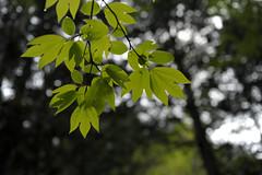 20120602 Akasawa 6 (BONGURI) Tags: green forest nikon nagano  forestpark  akasawa   kiso     d3s afszoomnikkor2470mmf28ged    akasawashizenkyuyourinpark