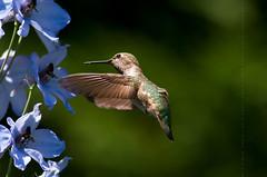 Annas Hummingbird (Calypte anna) (juvethski) Tags: anna male beautiful vancouver canon eos colorful pretty hummingbird vibrant awesome columbia richmond best 7d burnaby british f56 annas juvenile ef 400mm calypte