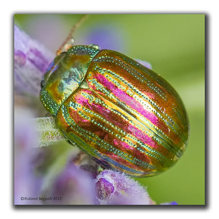 Brilliant jewel - Rosemary Beetle (Chrysolina americana)