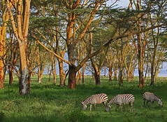 Lake Nakuru, Kenya -- yellow fever trees (JGHA) Tags: me2youphotographylevel1