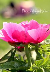 Rublomst (Voss-Nilsen) Tags: park pink flowers flower macro nature closeup botanical flora natur parks rosa makro blomst parker macroshot blomster naturbilder nrbilde botanisk naturen macroshots naturbilde makrobilder makrobilde nrbilder botanikk rublomst vossnilsen