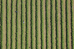 Raspberry Harvest (Aerial Photography) Tags: people verde green lines by munich mnchen aerial menschen m rows grn luftbild luftaufnahme obb linien reihen parallelen 05072008 johanneskirchen fotoklausleidorfwwwleidorfde stegmhlstrase 1ds12004