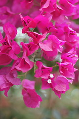 Bougainvillea (peaceful-jp-scenery (busy)) Tags: flower sony 日本 bandai α listel 福島 inawashiro ハーブ園 猪苗代 dslra700 minoltaafmacro100mmf28 イカダカズラ 磐梯高原 リステル