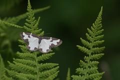 Clouded Border (Dr Wood's Wildlife Photos) Tags: geometridae lomaspilismarginata cloudedborder gerandespanner cameronreservoir reunustäplämittari litenfläckmätare randmåler vogelschmeisspanner bordureentrecoupée sortrandetmåler derechodetanteo