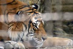 TIGRE SIBERIANA - Siberian Tiger (Alessio Rizzi) Tags: park parco nature animals mammal nikon tiger natura safari le 300 siberian tamron 70 bergamo tigris tigre animali bg amur 70300 panthera tamron70300 altaica mammifero cornelle siberiana faunistico valbrembo d3100 nikond3100