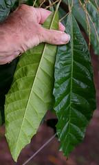Lunasia amara, Palmetum, Townsville, QLD, 15/07/12 (Russell Cumming) Tags: plant leaf queensland townsville rutaceae palmetum arfp lunasiaamara lunasia tbgarfp tparfp galleryarf lowlandarf cyrfp understoreyarfp