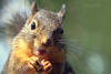 Smile! (Peggy Collins) Tags: canada smile smiling squirrel squirrels britishcolumbia whiskers sunshinecoast douglassquirrel squirreleating squirrelcloseup funnysquirrels squirrelsmile squirrelhands peggycollins squirrelmacro squirrelpaws squirrelsmiling funnysquirrelpictures