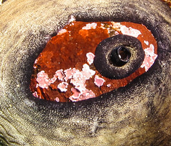 Keyhole Limpet (Ed Bierman) Tags: scuba diving marinelife ncrd gaydiving