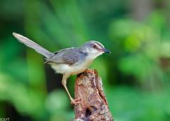 Plain Prinia - Prinia inornata (2) (Andy_LYT) Tags: bird thailand nikon priniainornata prinia chong plain pak 600mm d7000