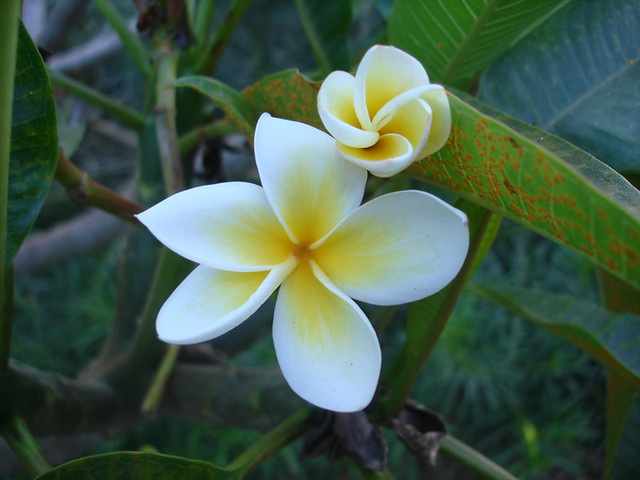 yellow-white flower