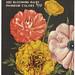 Frasier's Camellia - Flowered Ranunculus Bulbs